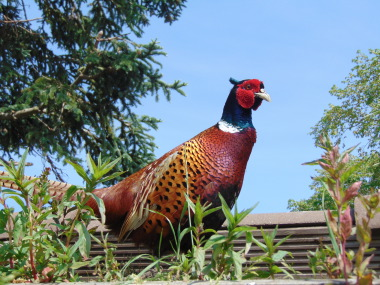 pheasent on shed roof